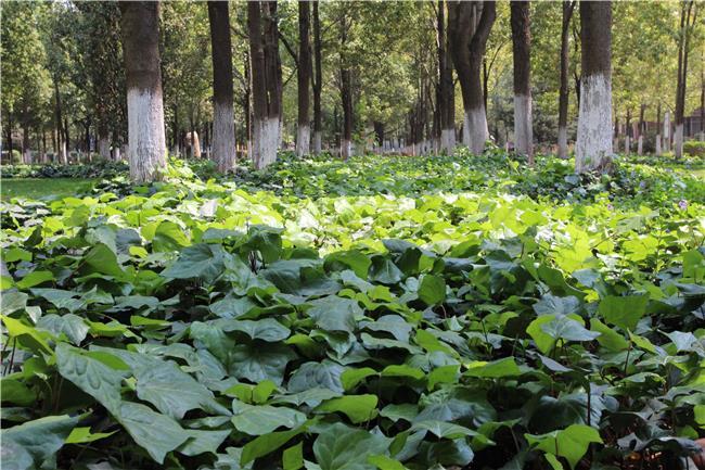 发现校园之美(十三)︱常春藤,恰似一川流泻的绿瀑